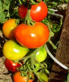 Tomaten©Karl-Heinz-Liebisch_PIXELIO