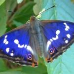 Der Schmetterling des Jahres 2011 ist der Große Schillerfalter