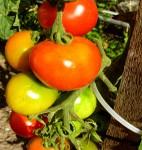 Tomaten sind gesund und wenig Pestizidbelastet