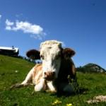 Vorsicht beim Kauf von Fleisch und Milch - Klonen ist erlaubt