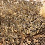 Das Bienensterben geht weiter - Wissenschaftler haben eine neue Zuchtmethode gefunden