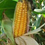 Landwirtschaftsministerium aus Niedersachsen patzt in Sachen Gen-Mais