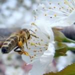 Die Biene – ohne sie wird der Mensch nicht überleben